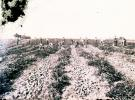 Harvesting Potatoes by hand, Aroostook County, ca. 1900