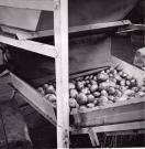 Processing potatoes, Aroostook County, ca. 1960