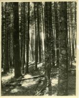 Spruce stand, MacMahan Island, 1957