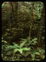 Ferns in the wood, Vermont, ca. 1910