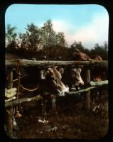 Cattle show, North New Portland, ca. 1910