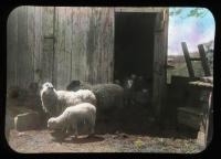 Prize sheep, Brighton, Massachusetts, ca. 1910
