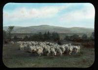 Grazing sheep, West New Portland, ca. 1910