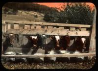 Cows at feed trough, ca. 1910