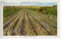 Potato digging in Maine, ca. 1900