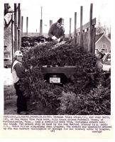 Giant wreath, Franklin, 1982