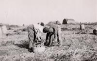 Potato pickers, Caribou, ca. 1930