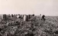 Potato barrels at harvest, Caribou, ca. 1930