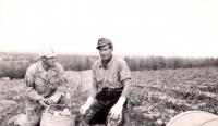 Prisoners of war picking potatoes, Houlton, 1945