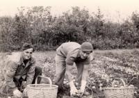 German prisoners picking potatoes, Houlton, 1945