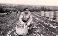Prisoner of war picking potatoes, Houlton, 1945