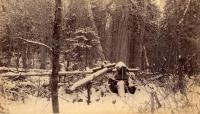 Bear dead fall trap, ca. 1895