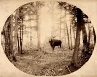 Moose in Aroostook Woods, c. 1895