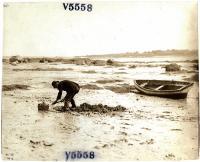 Digging clams in Maine, ca. 1930