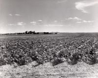Aroostook County potato field, ca. 1965