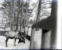 Buck, Riverton Park, Portland, 1902
