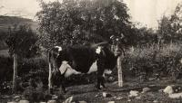 Holstein dairy cow, New Sweden, ca. 1922
