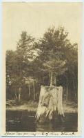 Spruce tree in pine stump, Pleasant Pond, 1922