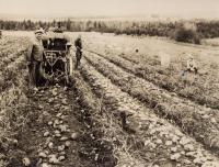 Potato harvesting, New Sweden, ca. 1930