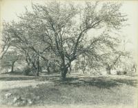 Danforth Street orchard, Portland, ca. 1900