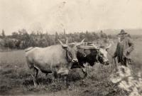 John Erikson with his oxen, Woodland, ca. 1922