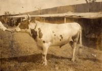 Ayshire bull, Caribou Fair, ca, 1922