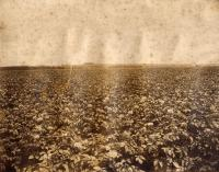 Potato field in bloom, Caribou, ca. 1922