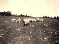 Grazing sheep, Woodland, ca. 1922
