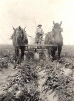 Spraying potatoes, Perham, ca. 1922