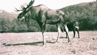 Cow and Moose, Stoneham,  ca. 1938