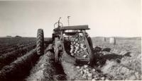 Potato harvester, Mapleton, ca. 1940