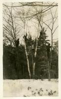 CCC gypsy moth work, ca. 1934