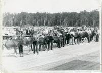 Photograph of cattle competition at the Blue Hill Fair, 1957
