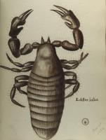 Lobster Insect drawing, Blue Hill, 1790