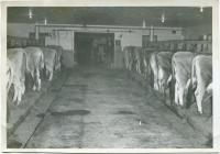 Cows, Spring Brook Farm, Cumberland, ca. 1930