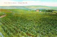 Potato Field in bloom, Presque Isle, ca. 1910