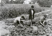 Good Will Boys Harvesting, Fairfield, ca. 1945