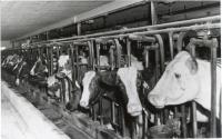 Ayrshire Cows, Fairfield, ca. 1945