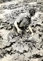 Good Will boy picking cucumbers, Fairfield, ca. 1960