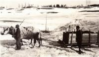 Cow hauling sled, Fairfield, ca. 1920