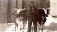 Farm hand with cows, Fairfield, ca. 1935