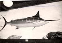 Blue marlin at the L.C. Bates Museum, Fairfield, ca. 1955
