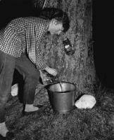 Maple sap collecting, Lyman, 1954