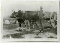 Fred Turner Sr. with oxen, Swan's Island, ca. 1900