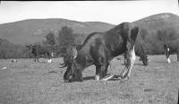 Moose and cows, Stoneham, ca. 1938
