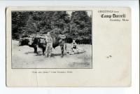 Oxen at Camp Durrell, 1908