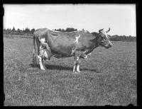 Cow on Ram Island Farm, Cape Elizabeth, ca. 1925