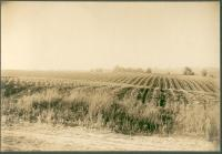 Corn field, Waterford, ca. 1905
