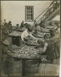 Fish processing, Eastport, ca. 1902