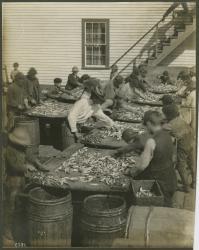 Fish processing, Eastport, ca. 1902